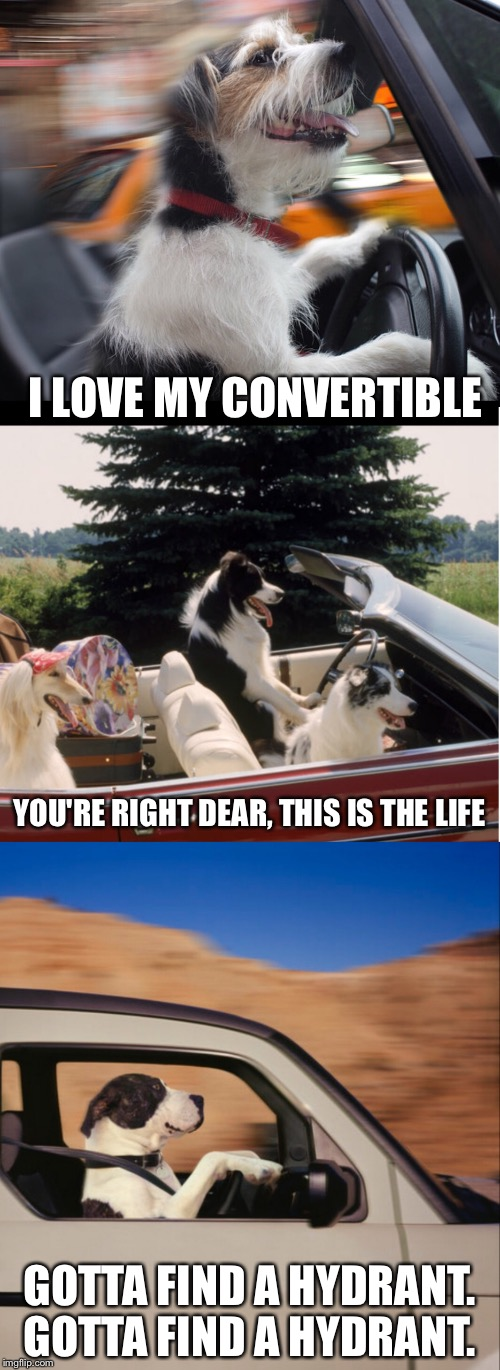 Meanwhile, in an alternate universe... | I LOVE MY CONVERTIBLE GOTTA FIND A HYDRANT. GOTTA FIND A HYDRANT. YOU'RE RIGHT DEAR, THIS IS THE LIFE | image tagged in alternate universe,funny dogs,dogs driving | made w/ Imgflip meme maker
