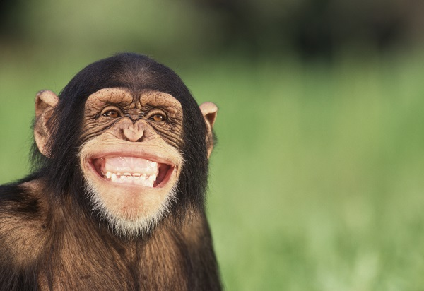 Smiling chimp Meme Template