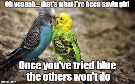 Cue: Dim The Lights | Oh yeaaah... that's what I've been sayin girl Once you've tried blue the others won't do | image tagged in birds,budgie,memes | made w/ Imgflip meme maker