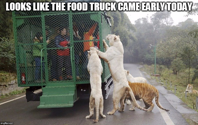 Food Truck for Tigers - Suggested By Raydog | LOOKS LIKE THE FOOD TRUCK CAME EARLY TODAY | image tagged in memes,cats,food truck,feed me,trapped in a cage,a raydog ghostofchurch collaboration | made w/ Imgflip meme maker
