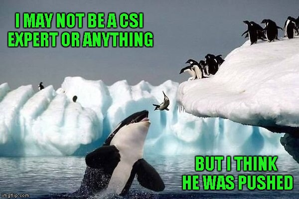 If you live life on the edge, be careful who you call friends... | I MAY NOT BE A CSI EXPERT OR ANYTHING BUT I THINK HE WAS PUSHED | image tagged in killer whale,memes,funny animals,funny,penguins,animals | made w/ Imgflip meme maker