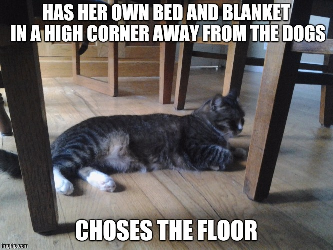 ... |  HAS HER OWN BED AND BLANKET IN A HIGH CORNER AWAY FROM THE DOGS; CHOSES THE FLOOR | image tagged in cat,funny,thuglife,dumb,memes | made w/ Imgflip meme maker