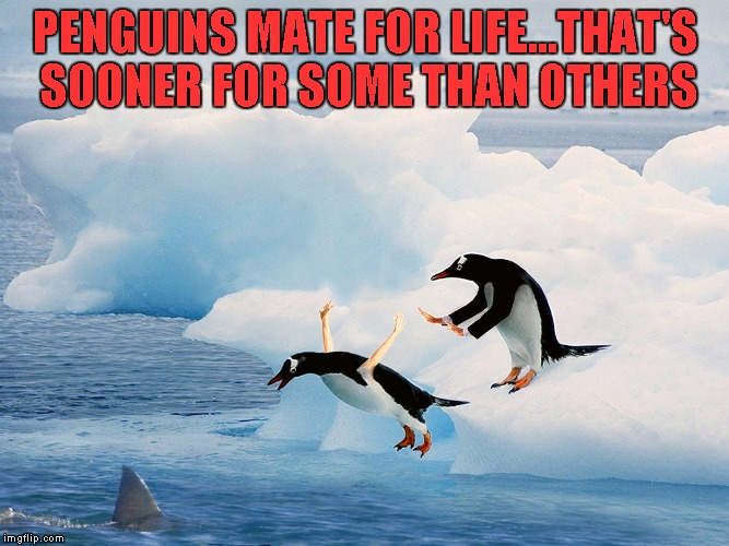 How penguins get divorced. | PENGUINS MATE FOR LIFE...THAT'S SOONER FOR SOME THAN OTHERS | image tagged in penguin pusher,memes,penguins,funny,funny animals,animals | made w/ Imgflip meme maker