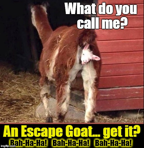 The Escape Goat | What do you call me? An Escape Goat... get it? Bah-Ha-Ha!    Bah-Ha-Ha!    Bah-Ha-Ha! | image tagged in vince vance,goat giving birth,kid being born,farnyard jokes,farm animals,goat riddle | made w/ Imgflip meme maker