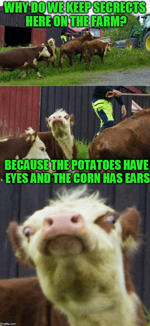 Bad pun cow  | WHY DO WE KEEP SECRECTS HERE ON THE FARM? BECAUSE THE POTATOES HAVE EYES AND THE CORN HAS EARS | image tagged in bad pun cow | made w/ Imgflip meme maker