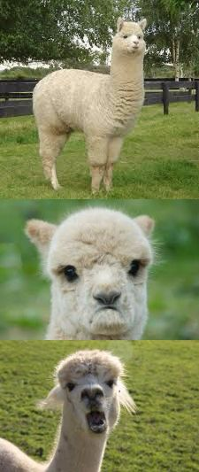 1aydd9?a418176 alpaca bad pun meme generator imgflip,Alpaca Meme Generator