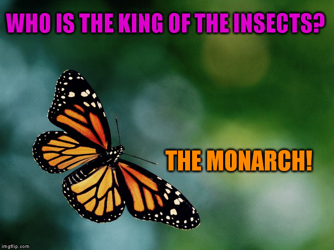 A Mini DashHopes meme | WHO IS THE KING OF THE INSECTS? THE MONARCH! | image tagged in butterfly,jokes,monarch,funny meme,insect,bugs | made w/ Imgflip meme maker