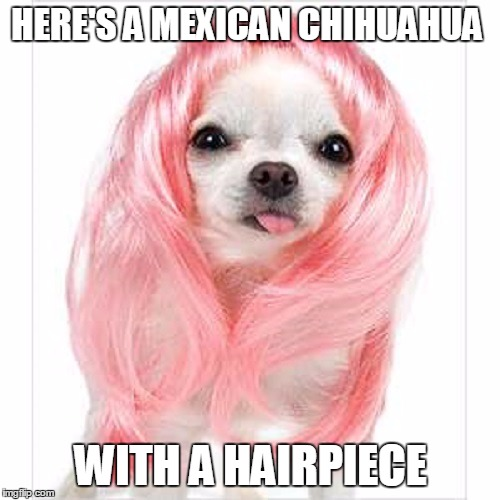 HERE'S A MEXICAN CHIHUAHUA WITH A HAIRPIECE | made w/ Imgflip meme maker