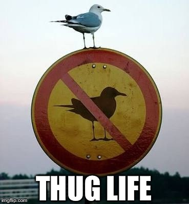 Bird on sign | THUG LIFE | image tagged in bird,sign,thug life,memes,funny | made w/ Imgflip meme maker