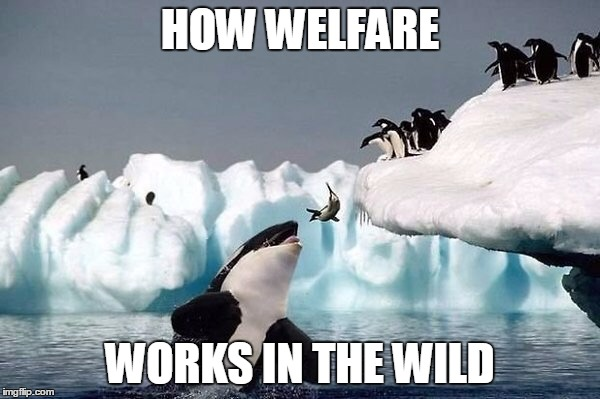 Killer whale | HOW WELFARE WORKS IN THE WILD | image tagged in killer whale | made w/ Imgflip meme maker