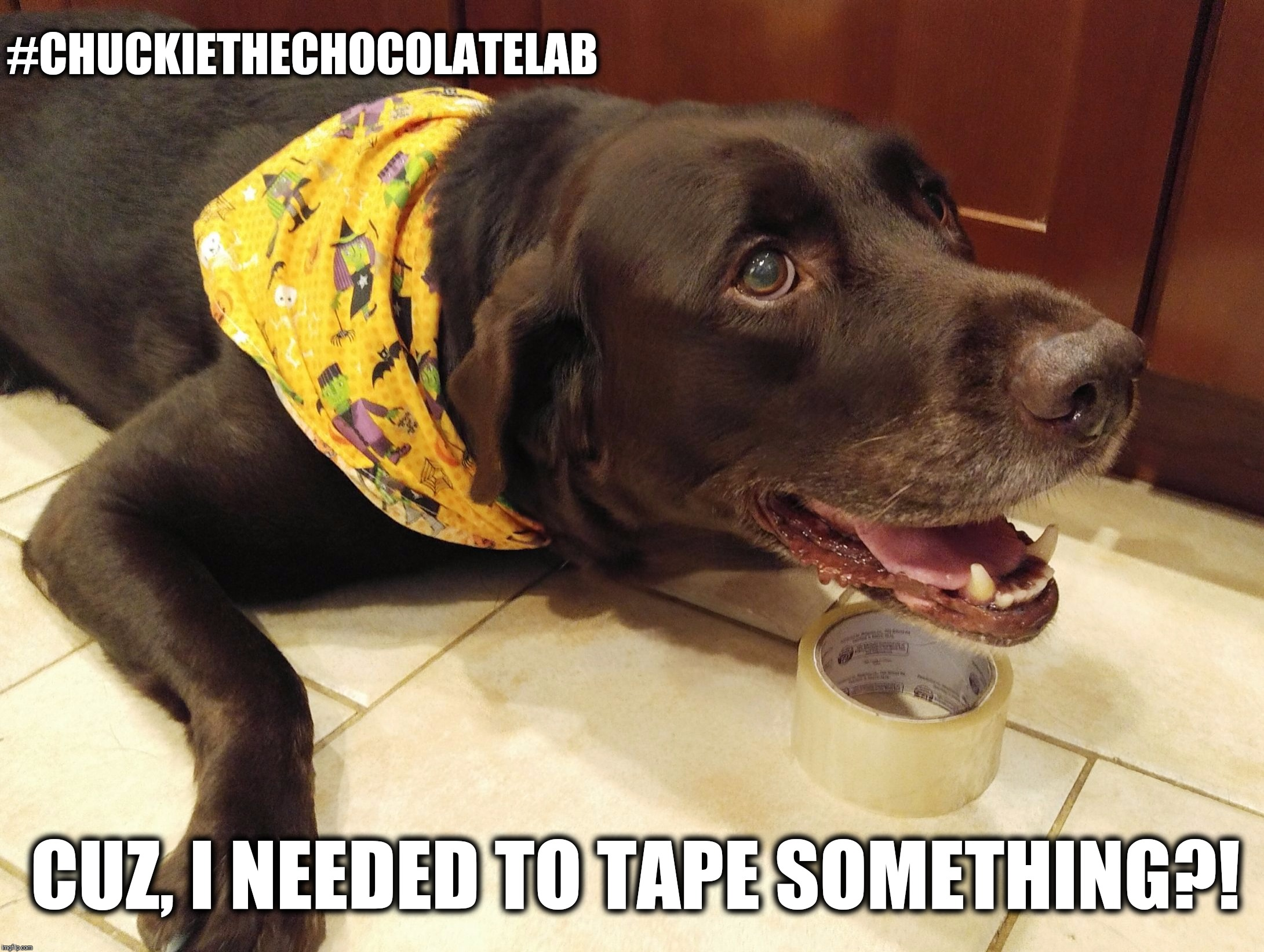 I needed this tape  | #CHUCKIETHECHOCOLATELAB CUZ, I NEEDED TO TAPE SOMETHING?! | image tagged in chuckie the chocolate lab,funny,memes,dog,labrador,tape thief | made w/ Imgflip meme maker