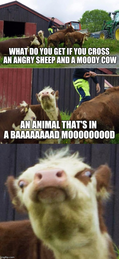 Bad pun cow  | WHAT DO YOU GET IF YOU CROSS AN ANGRY SHEEP AND A MOODY COW AN ANIMAL THAT'S IN A BAAAAAAAAD MOOOOOOOOD | image tagged in bad pun cow | made w/ Imgflip meme maker