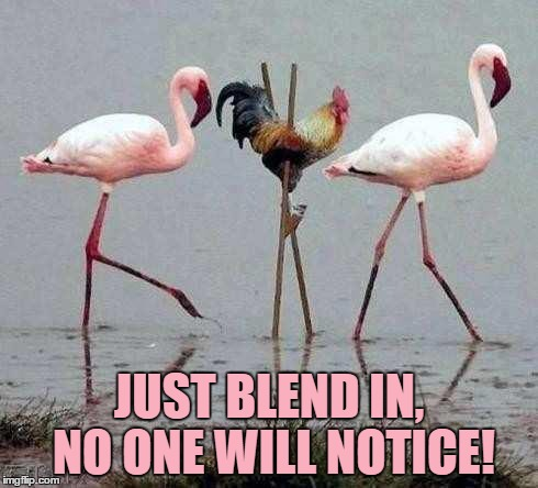 I Hear That There Is A Shortage On Chickens Recently. Reports Claim That They Are Trying To Get Back Into The Wild... | JUST BLEND IN, NO ONE WILL NOTICE! | image tagged in memes,funny,animals,rooster,stilts,flamingo | made w/ Imgflip meme maker