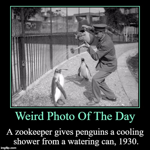 I Wonder If They Only Did This On Really Hot Days | Weird Photo Of The Day | A zookeeper gives penguins a cooling shower from a watering can, 1930. | image tagged in funny,demotivationals,weird,photo of the day,zookeeper,penguins | made w/ Imgflip demotivational maker