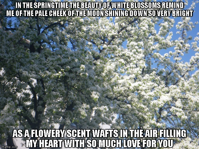 White Blossoms |  IN THE SPRINGTIME THE BEAUTY OF WHITE BLOSSOMS REMIND ME OF THE PALE CHEEK OF THE MOON SHINING DOWN SO VERY BRIGHT; AS A FLOWERY SCENT WAFTS IN THE AIR FILLING MY HEART WITH SO MUCH LOVE FOR YOU | image tagged in white blossoms,springtime,hearts,love,the moon | made w/ Imgflip meme maker