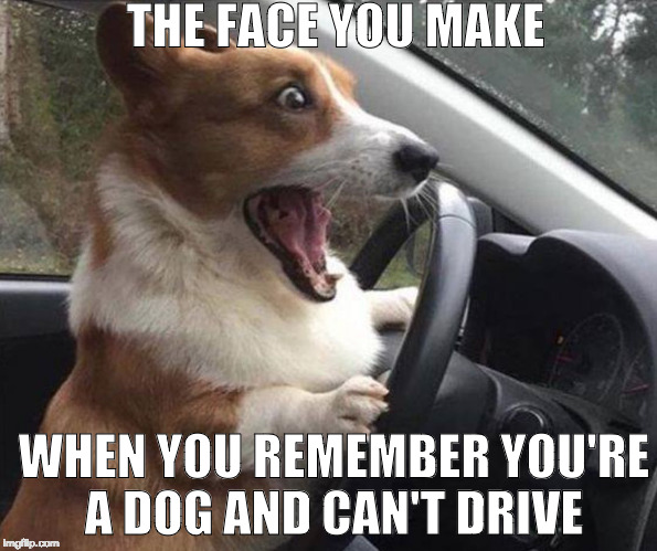 If a dog identifies as a human, should it be allowed to drive? |  THE FACE YOU MAKE; WHEN YOU REMEMBER YOU'RE A DOG AND CAN'T DRIVE | image tagged in dog driving,drive,bacon,dog,the face you make | made w/ Imgflip meme maker