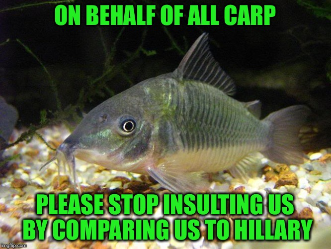 ON BEHALF OF ALL CARP PLEASE STOP INSULTING US BY COMPARING US TO HILLARY | made w/ Imgflip meme maker