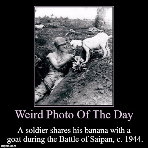 Moments Like These Are Just Amazing In Battles | Weird Photo Of The Day | A soldier shares his banana with a goat during the Battle of Saipan, c. 1944. | image tagged in funny,demotivationals,weird,photo of the day,battle of saipan,goat | made w/ Imgflip demotivational maker