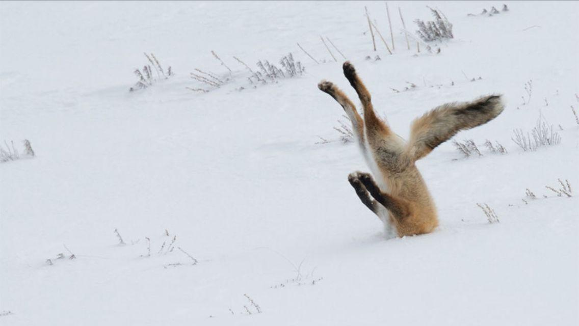 fox head in snow blank template imgflip
