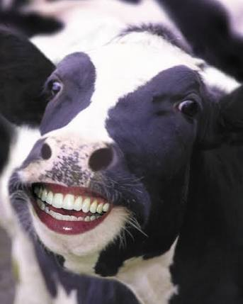 Image result for cow laughing gif