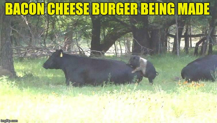Bacon burger cow pig | BACON CHEESE BURGER BEING MADE | image tagged in bacon burger cow pig | made w/ Imgflip meme maker