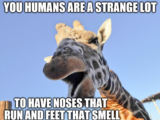 Giraffe saying us Humans are strange | YOU HUMANS ARE A STRANGE LOT TO HAVE NOSES THAT RUN AND FEET THAT SMELL | image tagged in funny memes,funny giraffe,giraffe,funny animals,humans | made w/ Imgflip meme maker