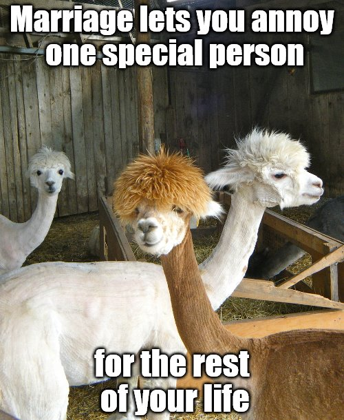 Two Llma with funny hair cuts poking fun about marriage | Marriage lets you annoy one special person for the rest of your life | image tagged in funny animals,marriage,relationships | made w/ Imgflip meme maker