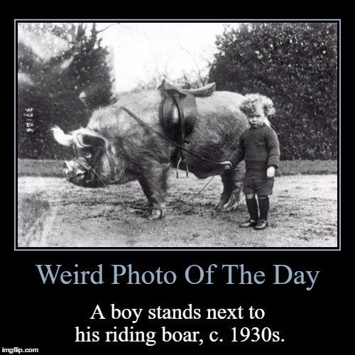:o | Weird Photo Of The Day | A boy stands next to his riding boar, c. 1930s. | image tagged in funny,demotivationals,weird,photo of the day,boy,boar | made w/ Imgflip demotivational maker