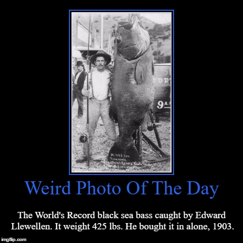 The Award For Most Bad@ss Fisherman Goes To... | Weird Photo Of The Day | The World's Record black sea bass caught by Edward Llewellen. It weight 425 lbs. He bought it in alone, 1903. | image tagged in funny,demotivationals,weird,photo of the day,black sea bass,world record | made w/ Imgflip demotivational maker