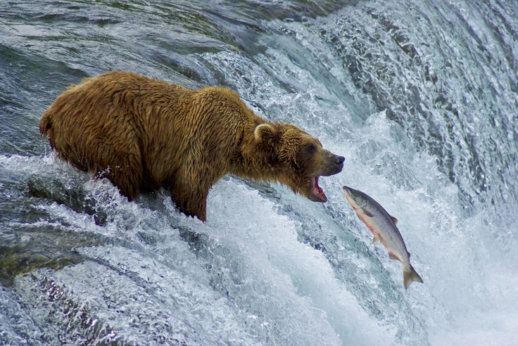 Bear catching salmon blank template imgflip for Bear catching fish