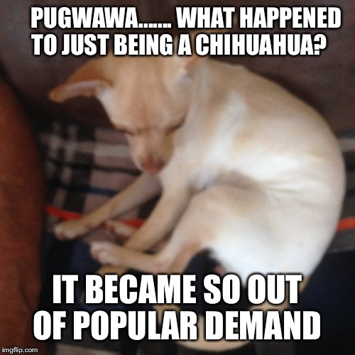 This dog | PUGWAWA.......WHAT HAPPENED TO JUST BEING A CHIHUAHUA? IT BECAME SO OUT OF POPULAR DEMAND | image tagged in funny | made w/ Imgflip meme maker