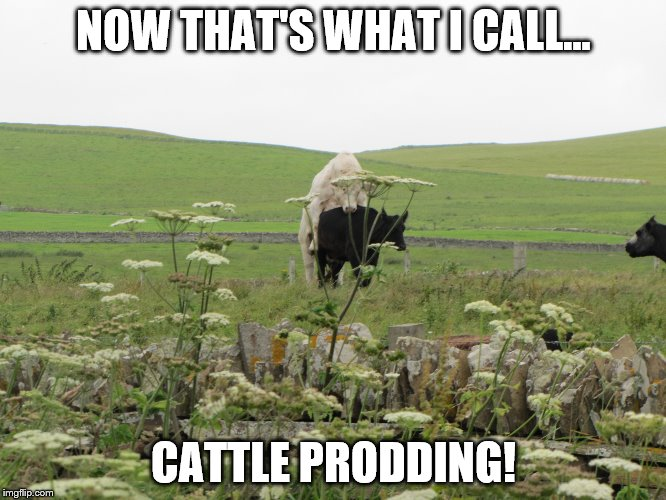 Scotland cattle | NOW THAT'S WHAT I CALL... CATTLE PRODDING! | image tagged in cattle,cool cows | made w/ Imgflip meme maker