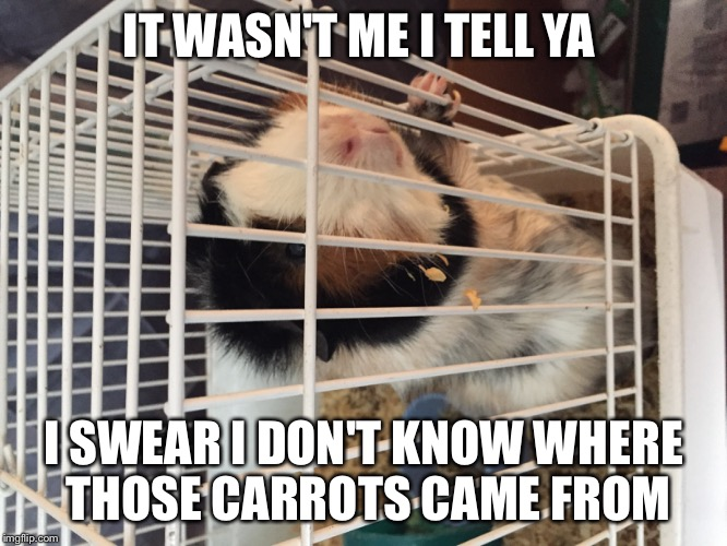 Jailbird Pig |  IT WASN'T ME I TELL YA; I SWEAR I DON'T KNOW WHERE THOSE CARROTS CAME FROM | image tagged in guinea pig | made w/ Imgflip meme maker