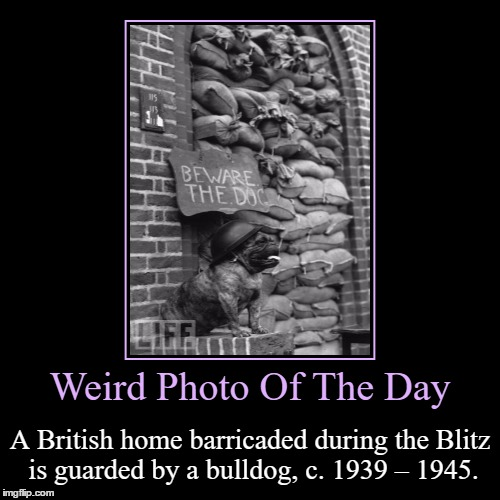 Beware The Dog | Weird Photo Of The Day | A British home barricaded during the Blitz is guarded by a bulldog, c. 1939 – 1945. | image tagged in funny,demotivationals,weird,photo of the day,dogs,bulldog | made w/ Imgflip demotivational maker