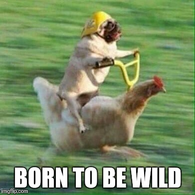 Born to ride | BORN TO BE WILD | image tagged in pug life | made w/ Imgflip meme maker