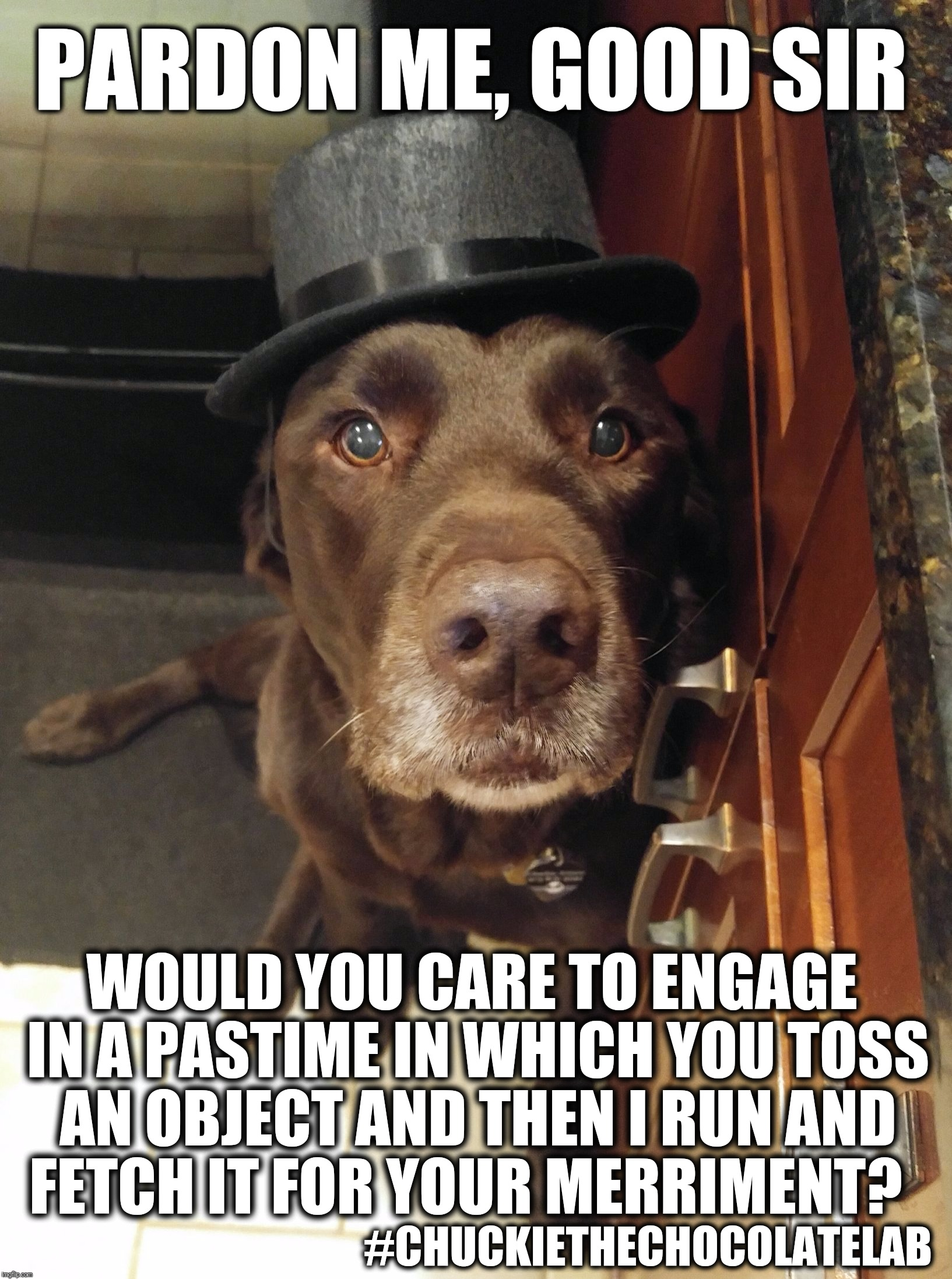 Pardon me, good sir | PARDON ME, GOOD SIR WOULD YOU CARE TO ENGAGE IN A PASTIME IN WHICH YOU TOSS AN OBJECT AND THEN I RUN AND FETCH IT FOR YOUR MERRIMENT? #CHUCK | image tagged in chuckie the chocolate lab,pardon me,funny,funny dogs,labrador,fancy hat | made w/ Imgflip meme maker
