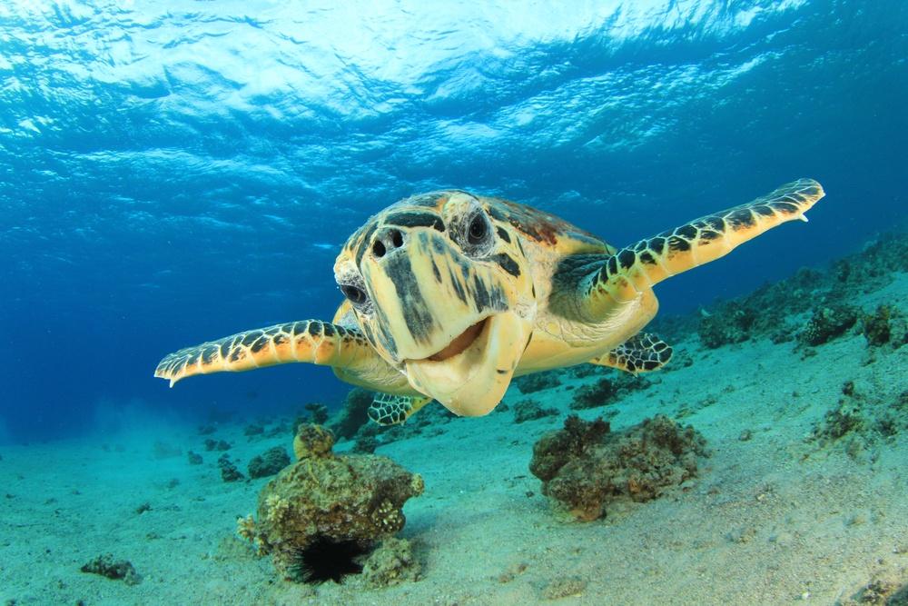 High Quality Sea Turtle Blank Meme Template