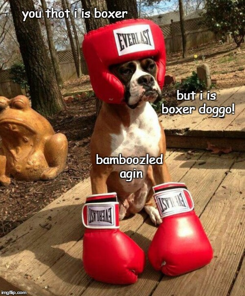 bamboozled again |  you thot i is boxer; but i is boxer doggo! bamboozled agin | image tagged in boxerdoggo,funny,doggo,memes | made w/ Imgflip meme maker