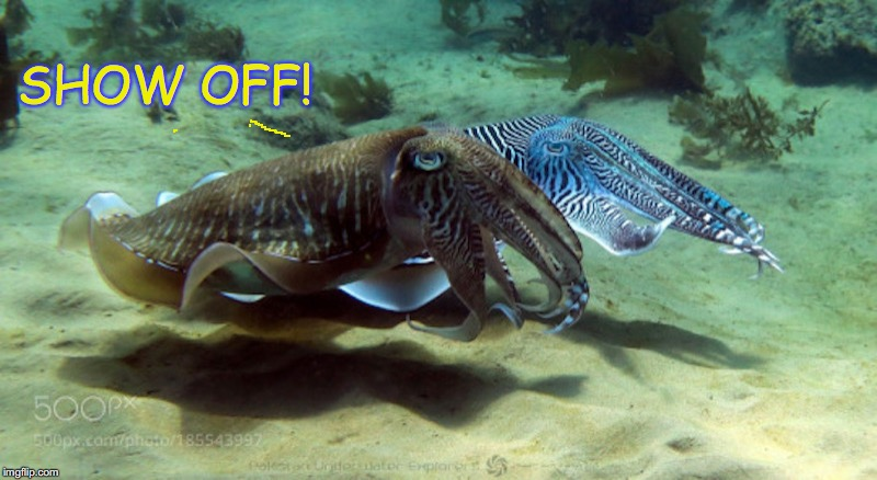 Cuttle Up |  SHOW OFF! | image tagged in cuttlefish,ocean | made w/ Imgflip meme maker