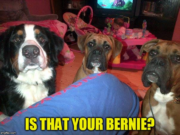 dogs | IS THAT YOUR BERNIE? | image tagged in dogs | made w/ Imgflip meme maker