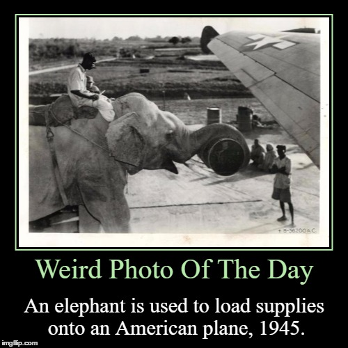 A WWII Photo For You All | Weird Photo Of The Day | An elephant is used to load supplies onto an American plane, 1945. | image tagged in funny,demotivationals,weird,photo of the day,elephant,american | made w/ Imgflip demotivational maker
