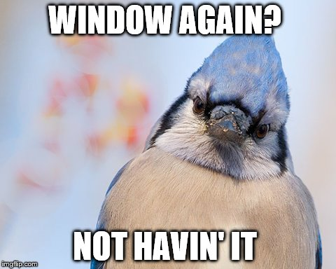 Blue jay | WINDOW AGAIN? NOT HAVIN' IT | image tagged in blue jay | made w/ Imgflip meme maker