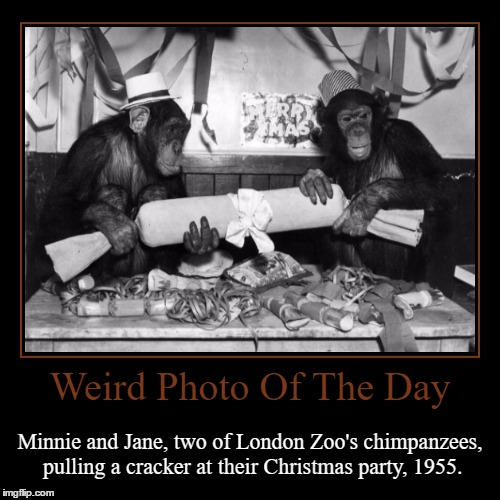 See, Even Chimpanzees Can Have Christmas Fun! | Weird Photo Of The Day | Minnie and Jane, two of London Zoo's chimpanzees, pulling a cracker at their Christmas party, 1955. | image tagged in funny,demotivationals,weird,photo of the day,london,chimpanzee | made w/ Imgflip demotivational maker