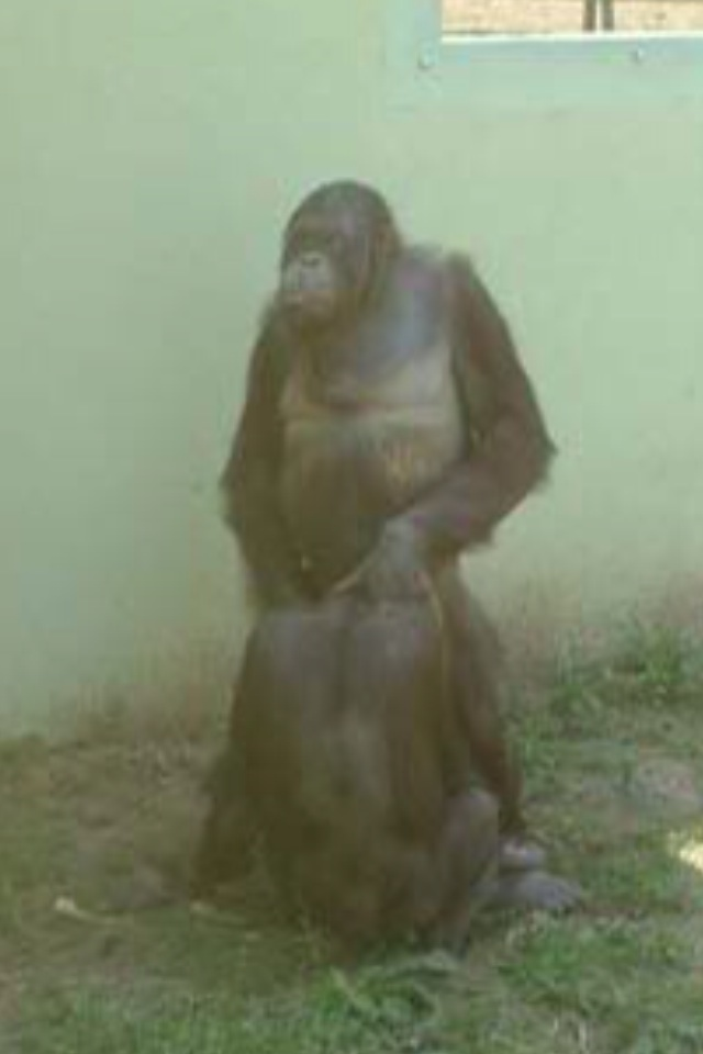 Breast feeding gorilla