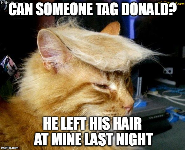 donald trump cat |  CAN SOMEONE TAG DONALD? HE LEFT HIS HAIR AT MINE LAST NIGHT | image tagged in donald trump cat | made w/ Imgflip meme maker