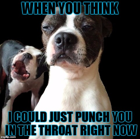 WHEN YOU THINK I COULD JUST PUNCH YOU IN THE THROAT RIGHT NOW | image tagged in funny dogs,throat,punch,yelling,boston terrier,dogs | made w/ Imgflip meme maker