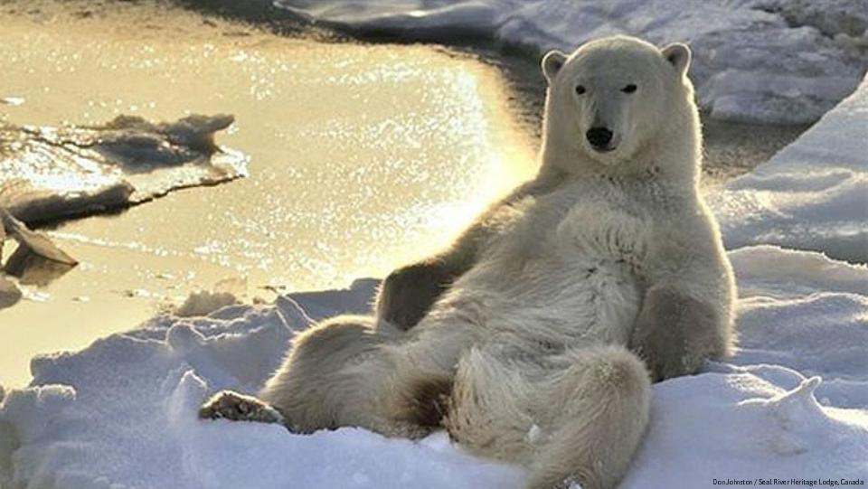 Polar Bear Relaxing Blank Template Imgflip