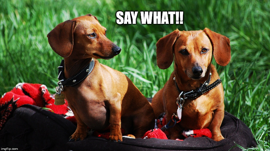 Dachshund disagreement | SAY WHAT!! | image tagged in say what,dachshunds,dogs,animals,pets | made w/ Imgflip meme maker