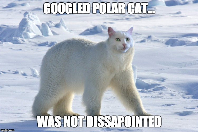 meow | GOOGLED POLAR CAT... WAS NOT DISSAPOINTED | image tagged in polar cat,memes,funny,funny memes,cats | made w/ Imgflip meme maker