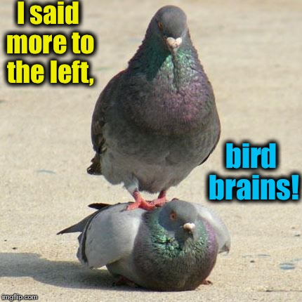 Hard to find a good masseur these days.... | I said more to the left, bird brains! | image tagged in pigeon massuer,memes,evilmandoevil,funny | made w/ Imgflip meme maker